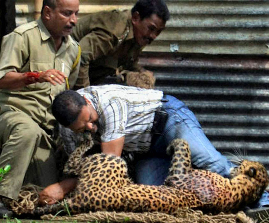 However Being Way Smaller The Leopard Cannot Land A Fatal On Much More Enormous Panthera Leo Should It Try S As Good Dead