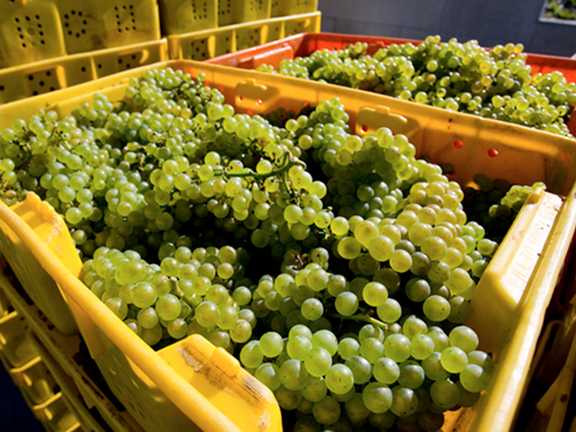 Harvested-Grapes