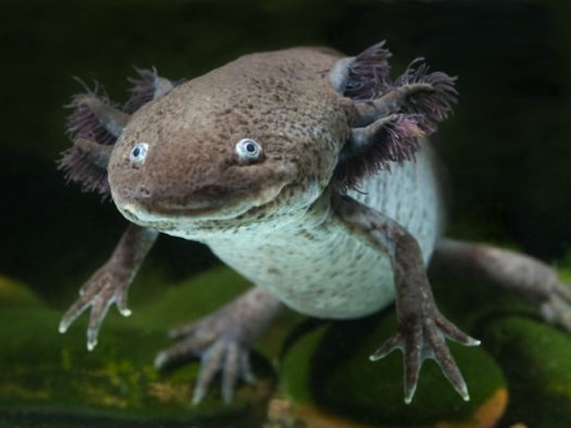 Humans Could Be Regenerating Limbs Like The Salamander Very