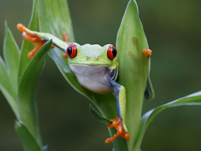 red-eyed-tree-frog-350px