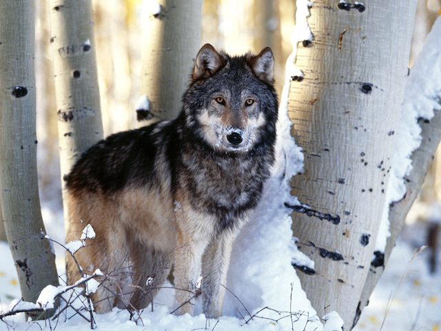 Winter_Hunting,_Gray_Wolf