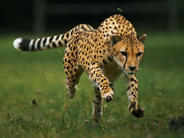 wallpapers-running-cheetah-fast-pictures-free-wallpaper-picturesfree-122972