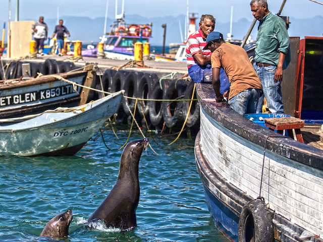 SOUTH AFRICA, Cape Town: Two of the herd of 'resident' Cape Fur seals swim near a fishing boat in Kalk Bay Harbour on 24 January 2015. The herd of seals living in and around Kalk Bay Harbour sleep on the harbour walkway at night and are fed scraps of fish thrown into the water by the harbour fish cleaners and visitors.  Plastic box bands, rope and fishing line litters the water in the harbour and poses a threat to the lives of the habituated seals. PHOTO/JENNIFER BRUCE