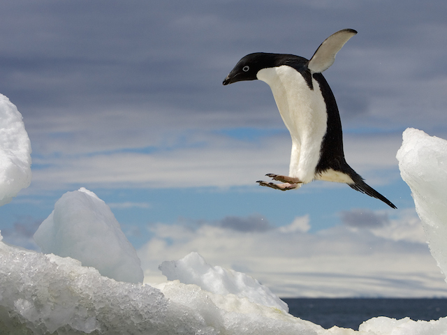 The jump (2 of 3), Adelie Penguin (Pygoscelis Adeliae), Brown Bluff, Antarctic Peninsula, Antarctica