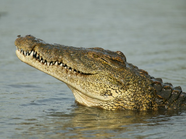 Nile crocodile, Crocodylus niloticus, with it's head out of water.