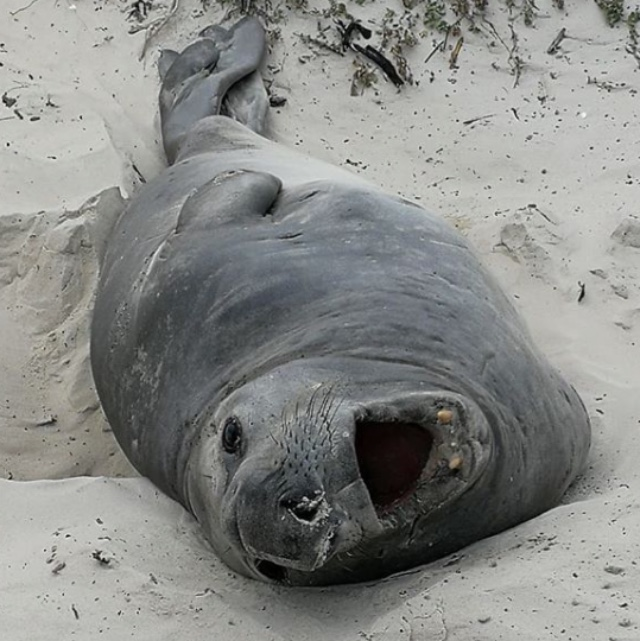 Folks In The Deep South Are Loving Buffel The Elephant Seal